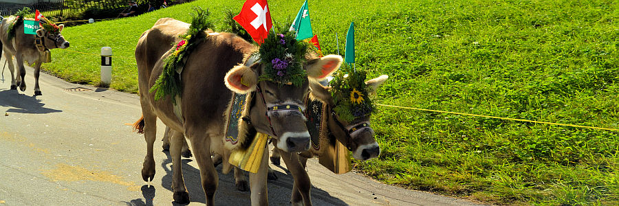 switzerland_cows